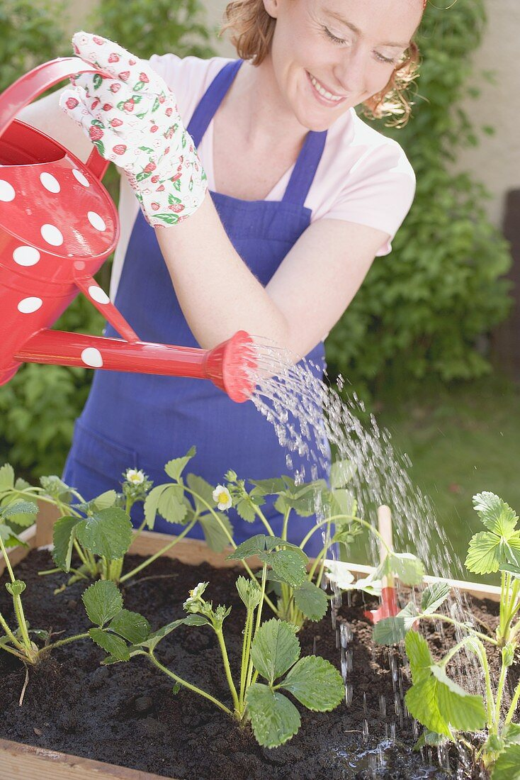 Watering young strawberry plants