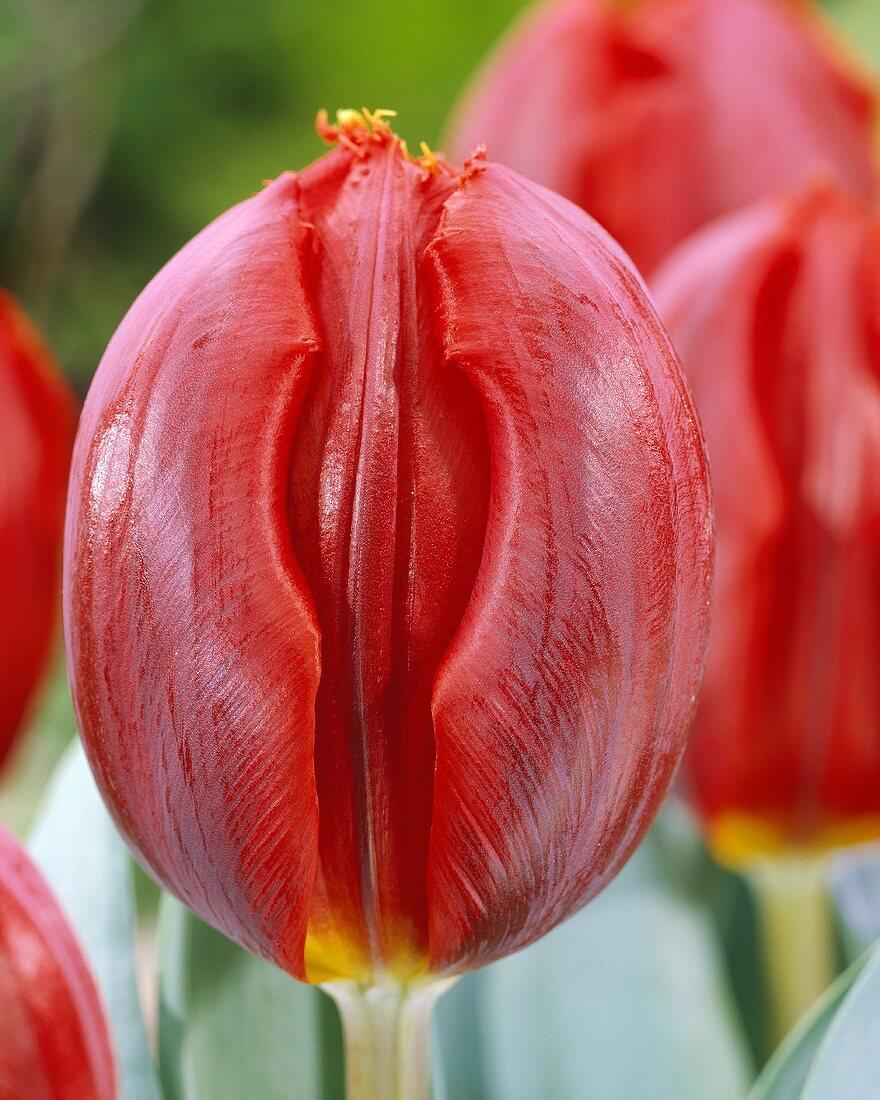 Tulip 'Arma'