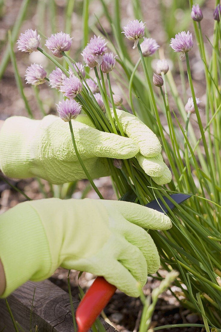Chives in a flower bed being cut