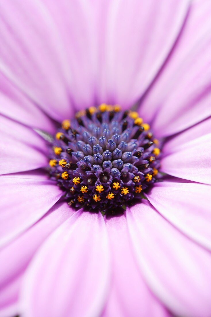 African daisy (close-up)