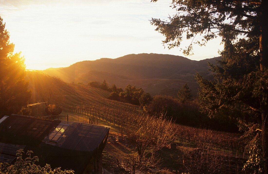Weinberg im Napa-Valley, Kalifornien, USA