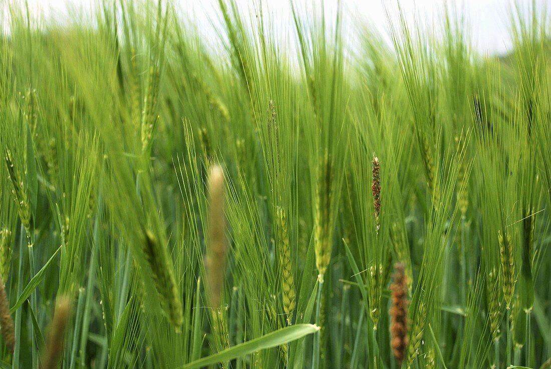 A barley field (close-up)