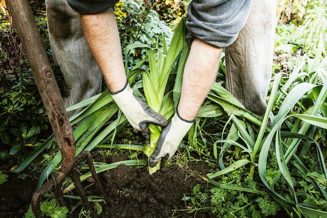 Man digging up vegetables in garden