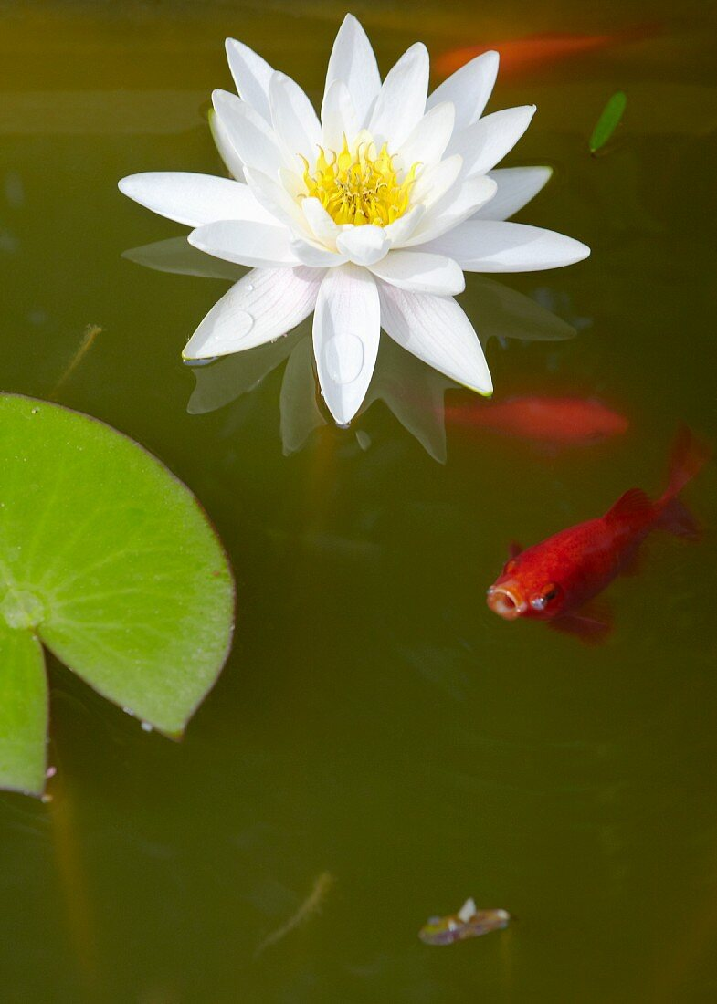 Water lily and goldfish in pond
