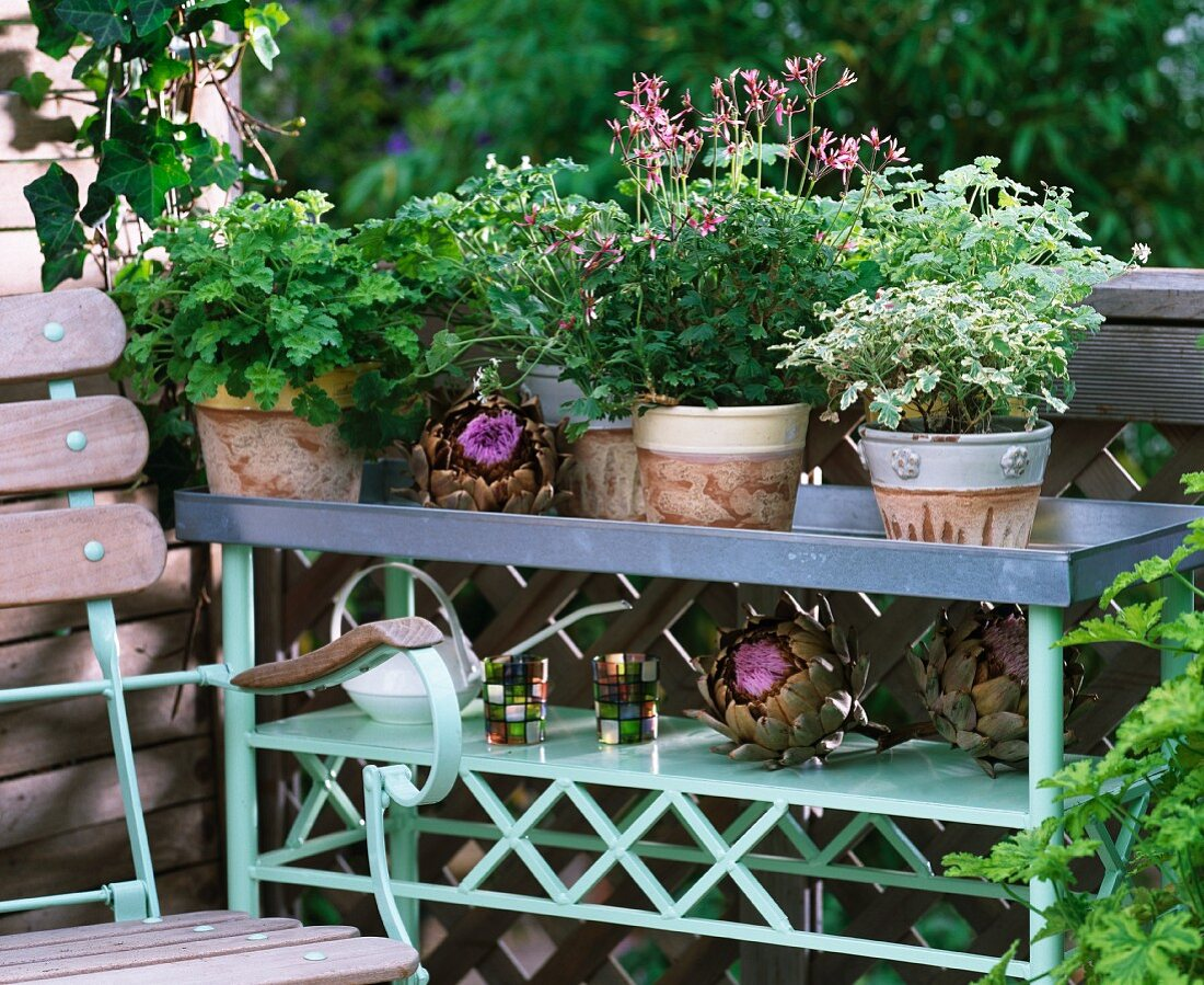Scented geraniums and large ornamental artichokes on bench