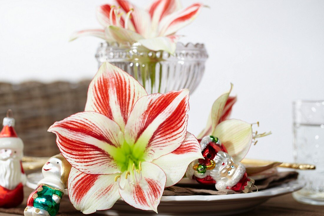 Place setting with Christmas tree decorations and amaryllis blooms (variety: Ambiance)