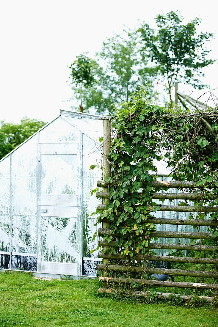 Greenhouse and ivy growing on trellis in … – Buy image – 20 ...