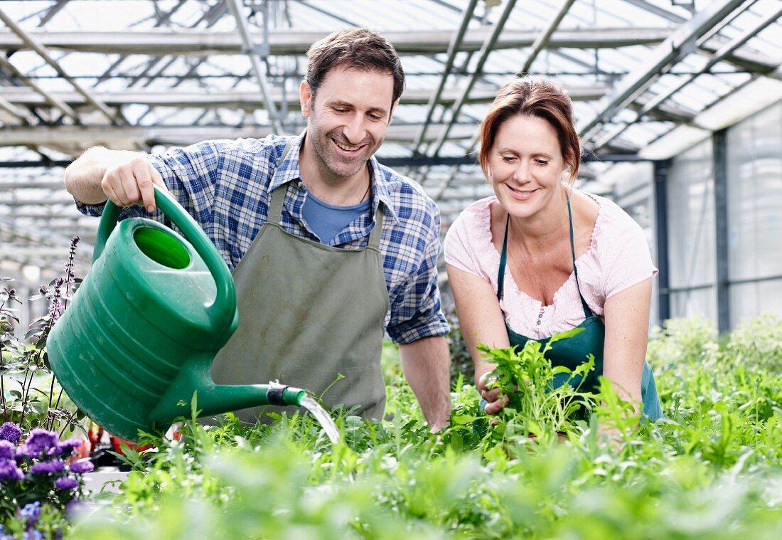Mann und Frau gießen Rucolapflanzen im … - Bild kaufen