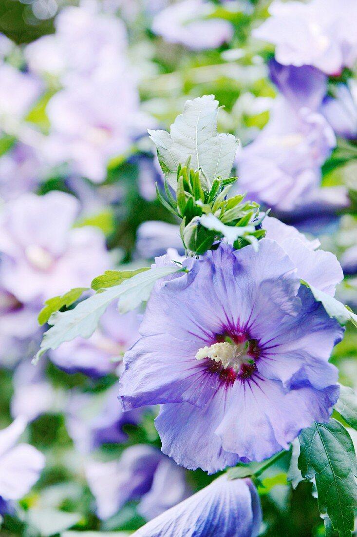 Blaue Hibiskusblüten (Nahaufnahme)