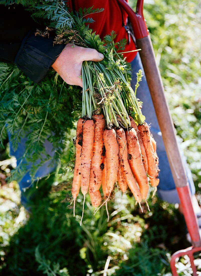 A woman holding ecological carrots, Aloppe, Sweden.