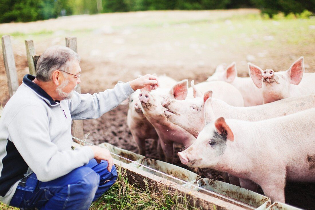 Farmer with free-range pigs at feeding trough