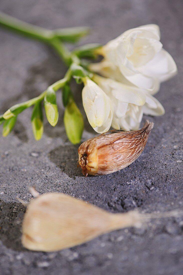 White freesia flower and bulb