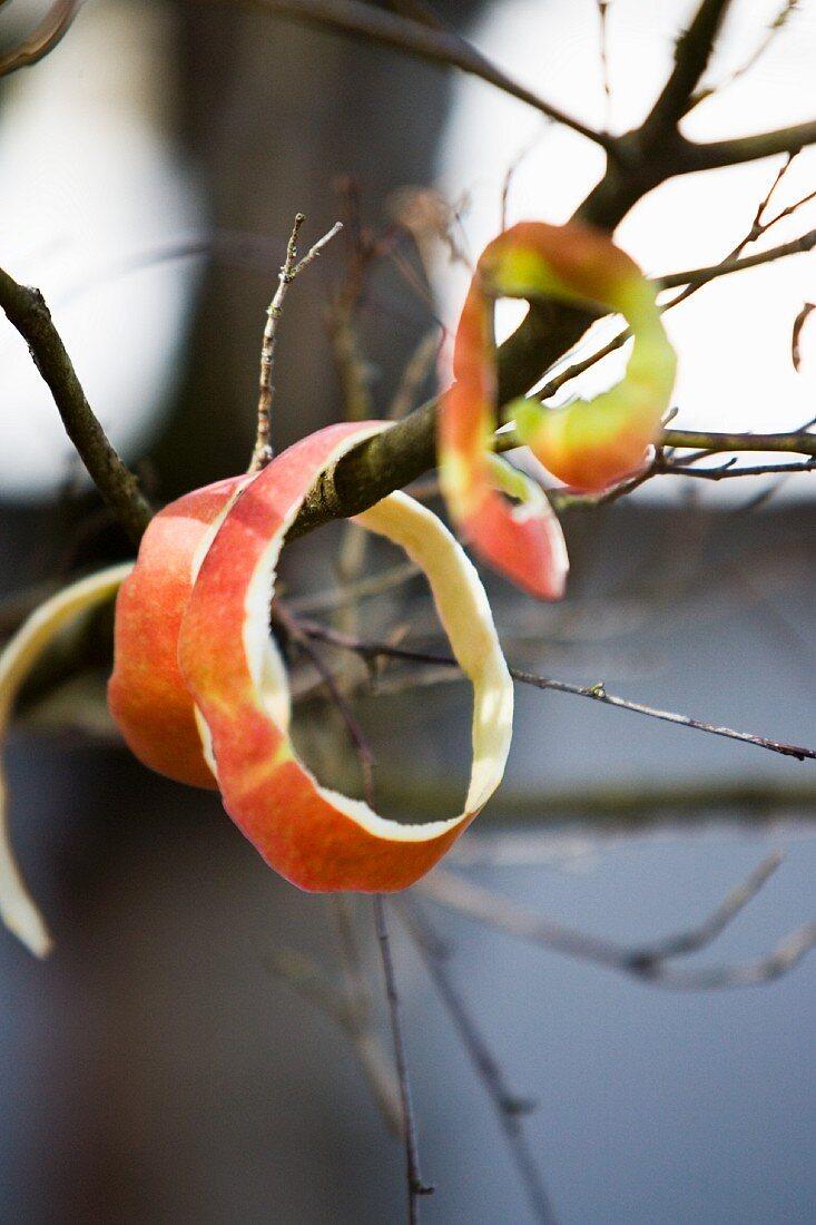 Apple peel rings on twigs