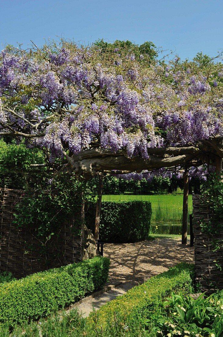 Flowering wisteria on pergola