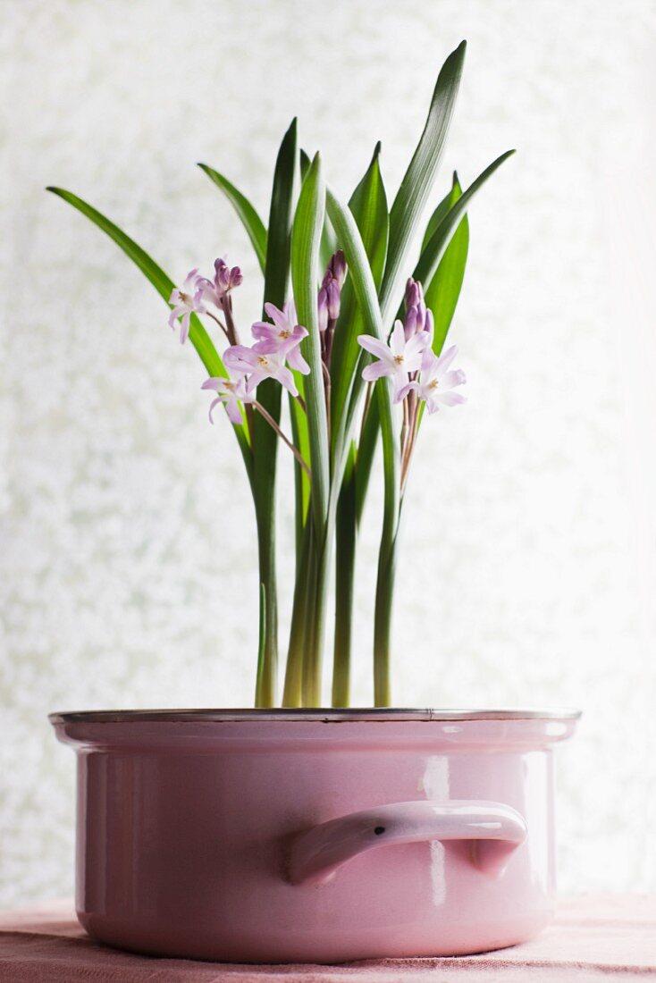 Violet flowers in violet enamel pan