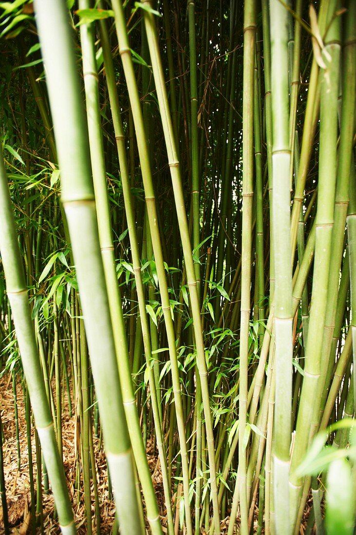 Bamboo in a garden