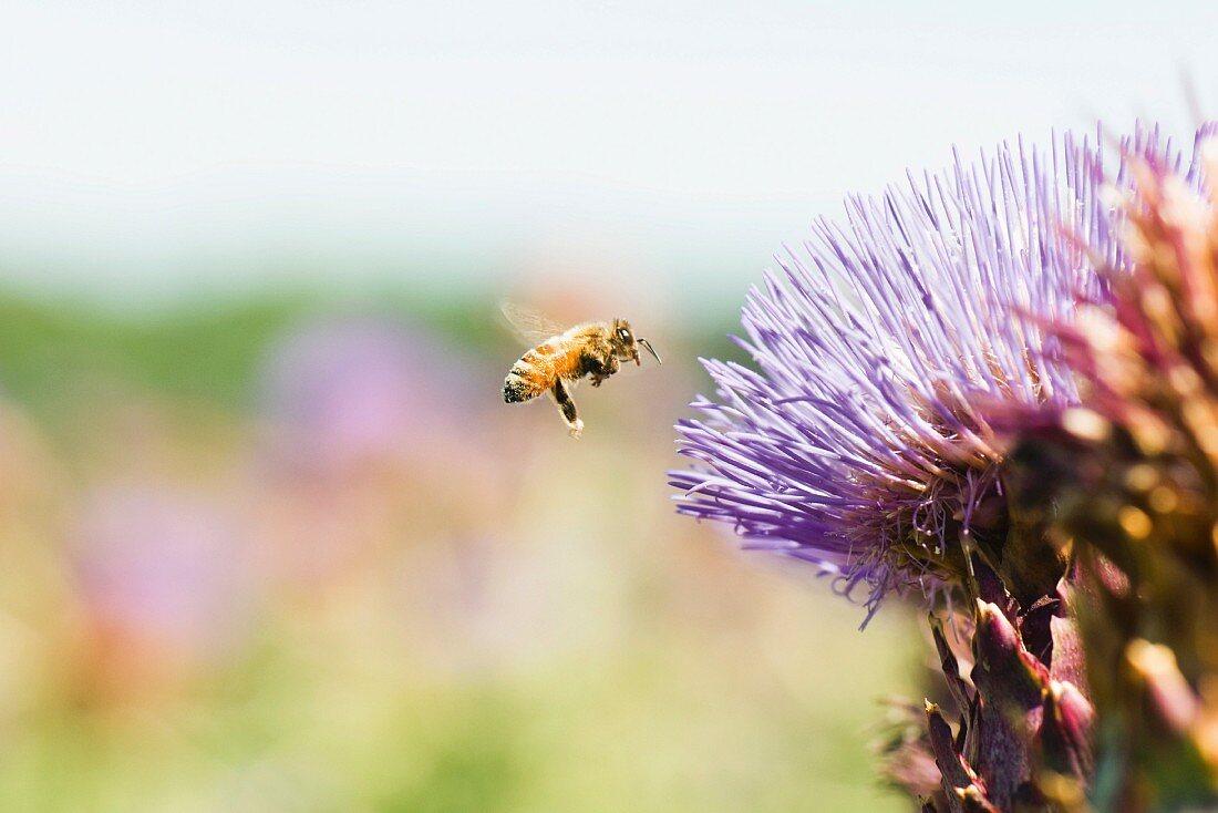Bee flying toward thistle flower