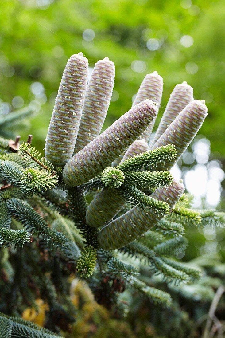Algerian Fir with fir cones (Abies numidica)