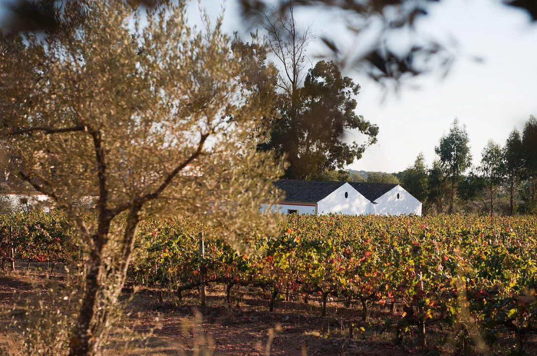 Herdade do Mouchao, winery and vines (Portugal)