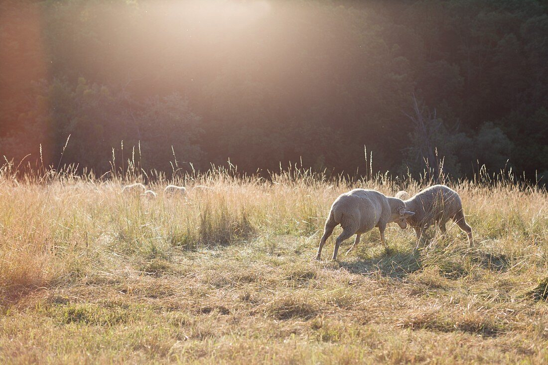 Two sheep butting heads in evening sunlight in summer meadow