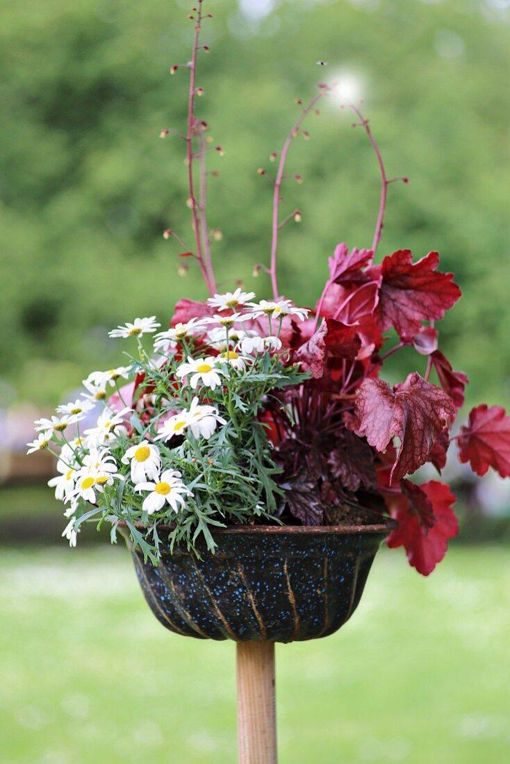 Ox-eye daisies and red-leafed heuchera planted in old bundt cake tin in garden
