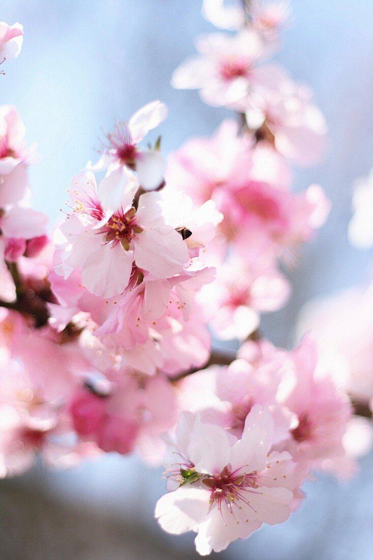 Flowering almond branch