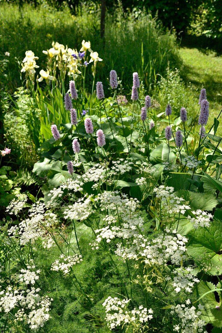 Spignel, yellow iris and bistort in summery garden