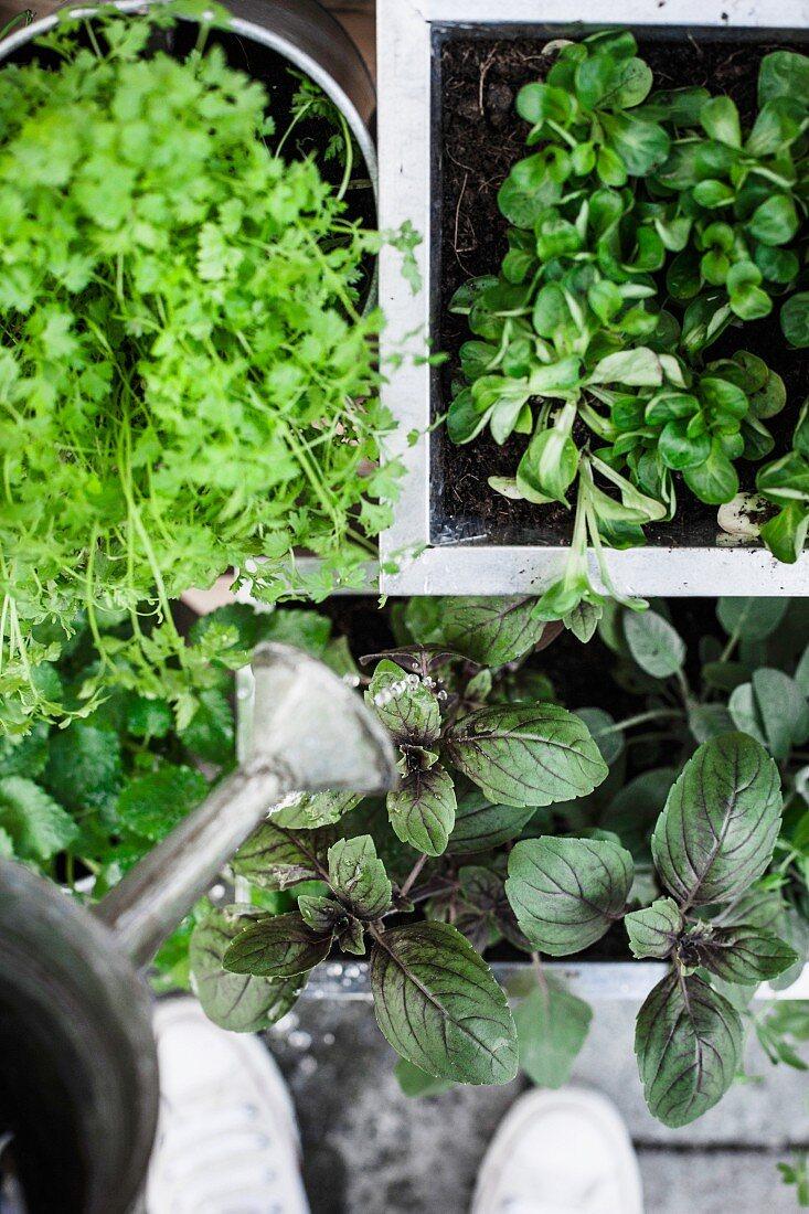 Kräuterpflanzen werden gegossen (Aufsicht)