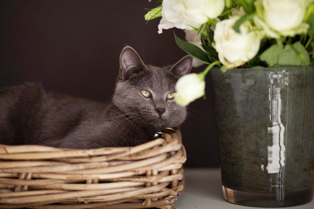 Grey cat lying in basket next to vase of roses