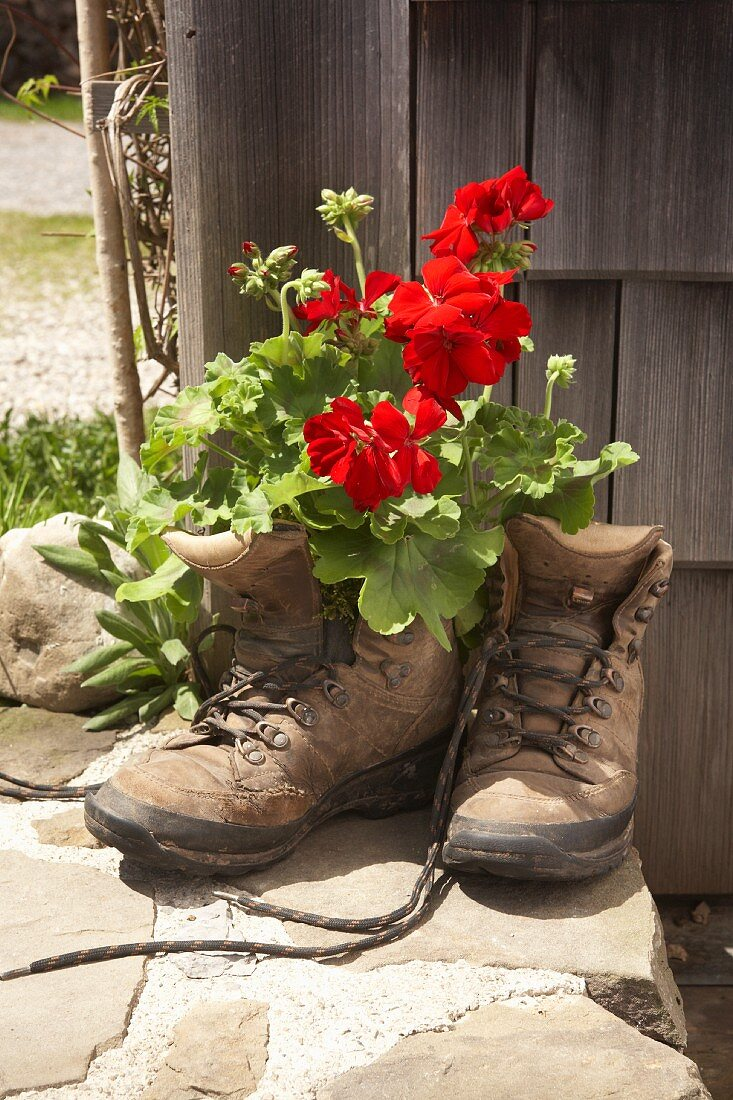 Red geraniums planted in old walking boots