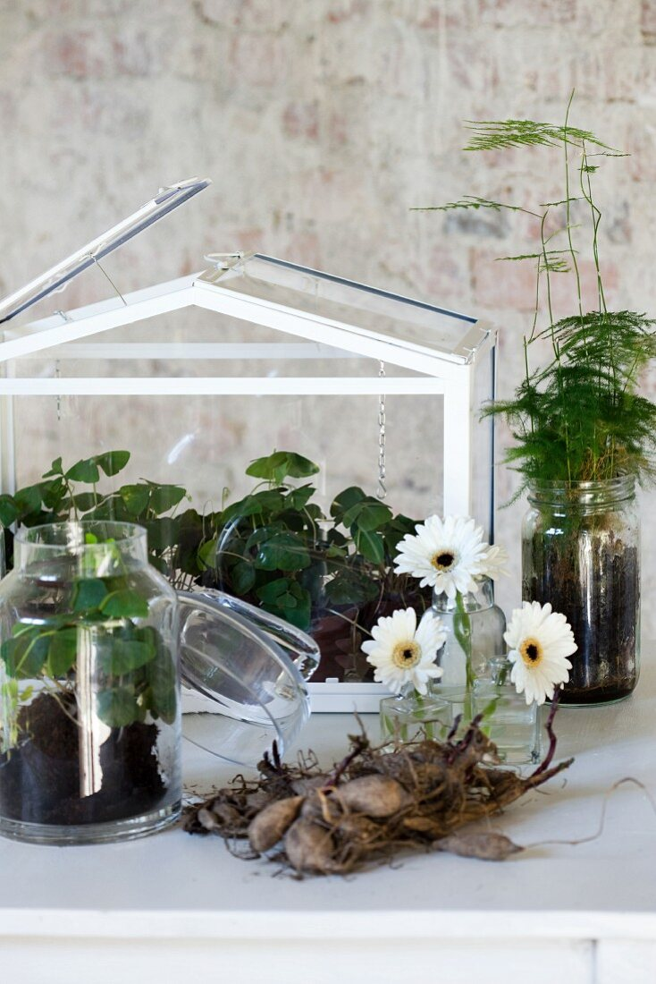 Arrangement of terrarium, white gerbera daisies in small glass vases, flower bulbs and foliage plants