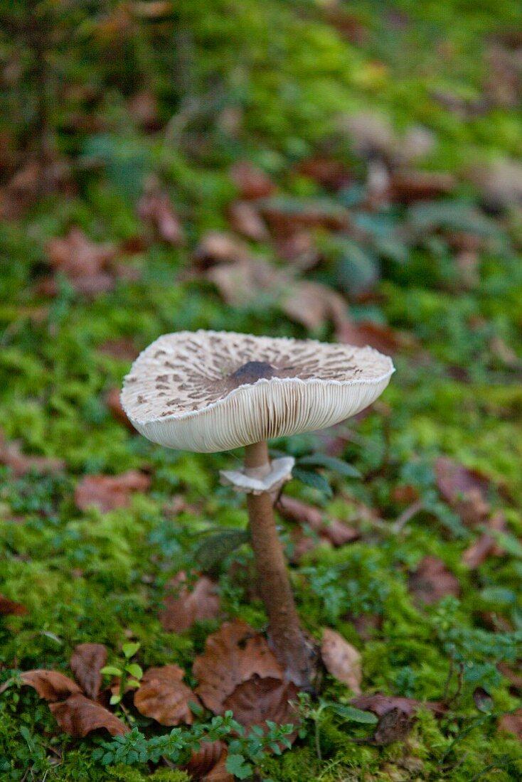 Parasol mushroom growing amongst moss and autumn leaf litter