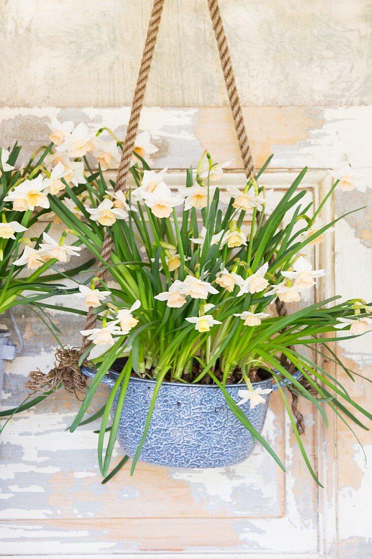 Narcissus in vintage-style hanging basket