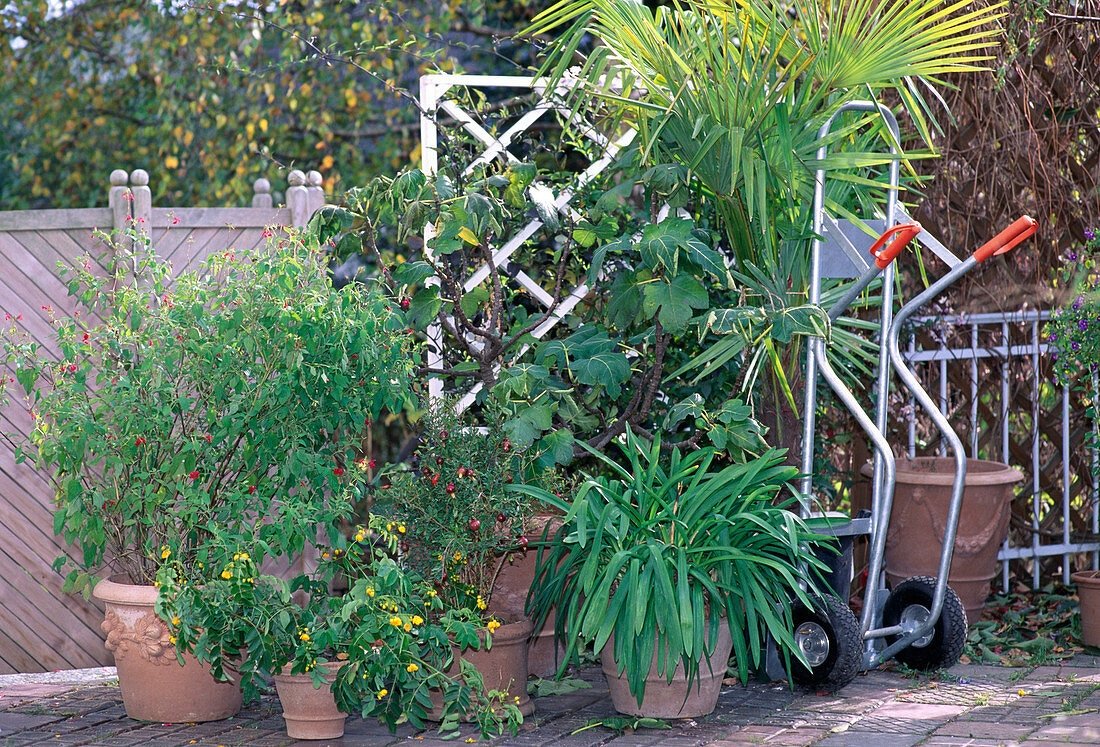 Container plants that have to be placed in winter quarters before the first frosts