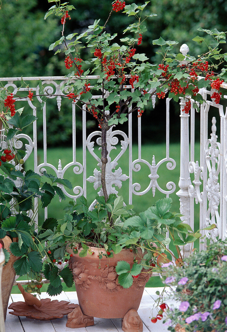 Balcony with strawberries and redcurrants
