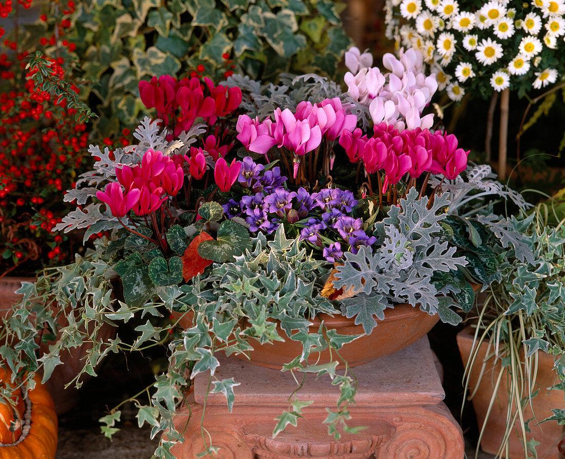 Autumn cup with Cyclamen persicum, Cineraria maritima