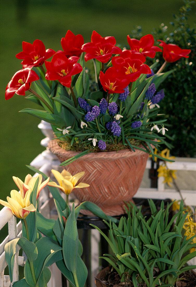 Tulip 'Showwinner'