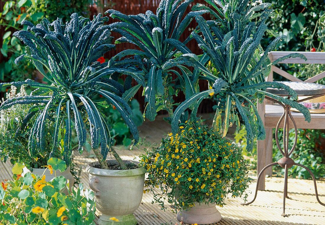 Brassica (cabbage 'Nero di Toscana'