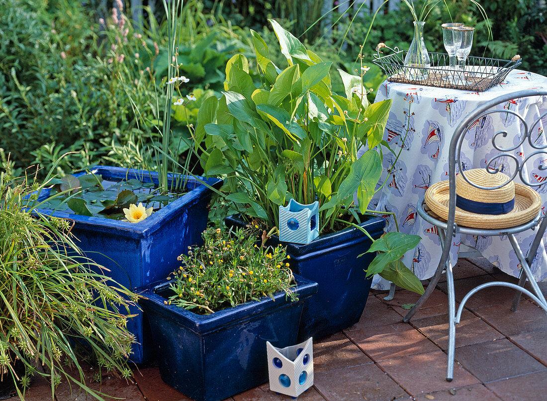 Blue glazed pots with Nymphaea hybrid, Cotula coronopifolia