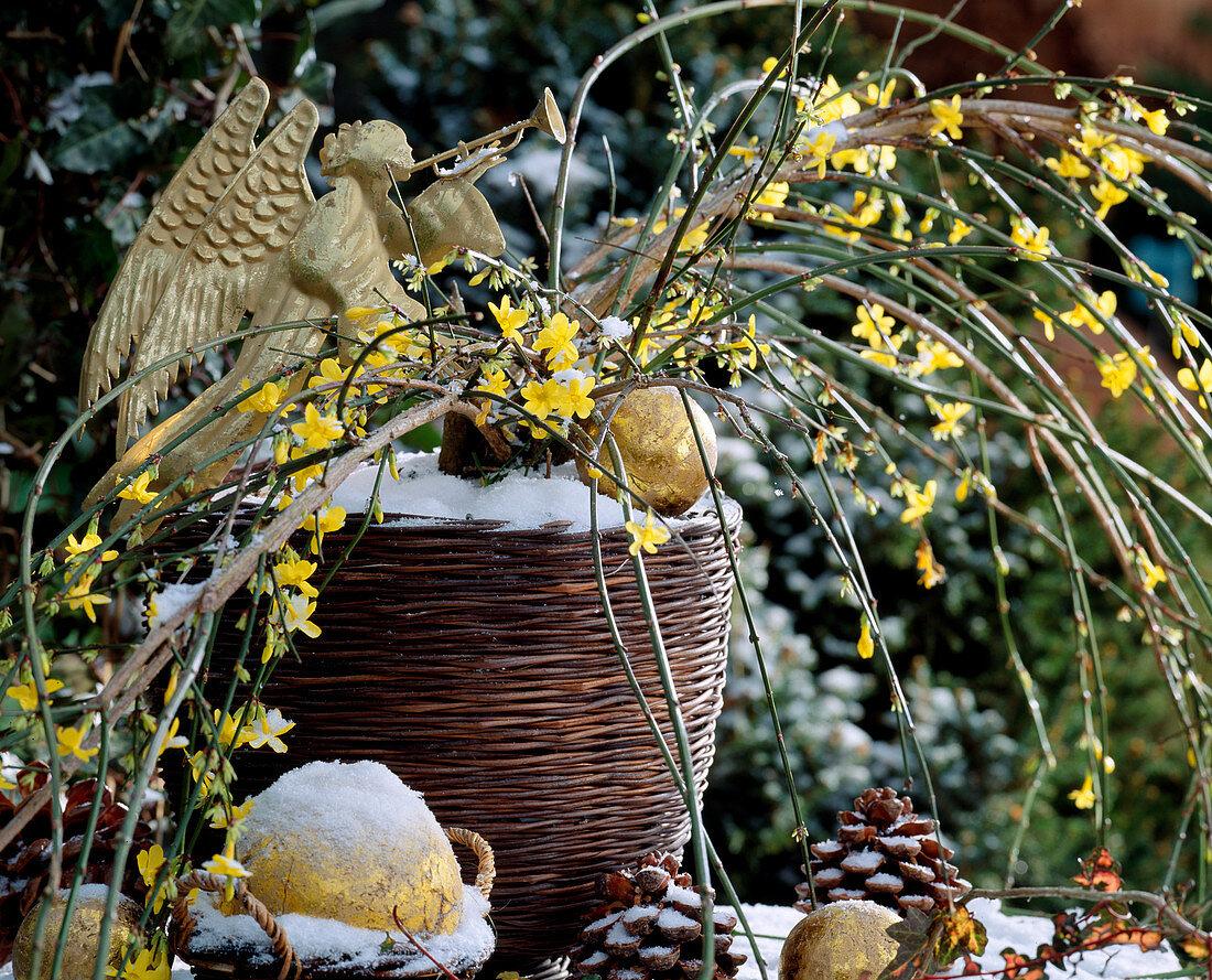 Jasminum nudiflorum (winter jasmine)