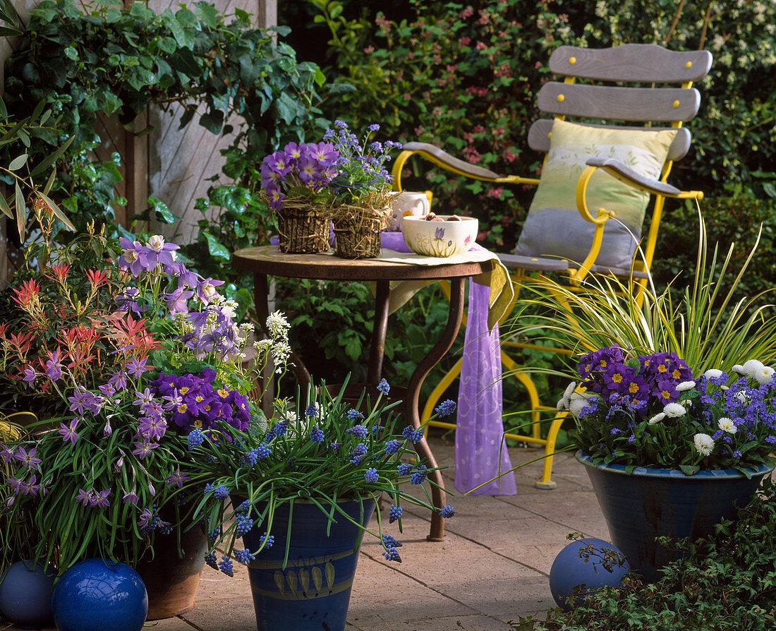 Bowls with Pieris, Ipheione, Aquilegia 'Magic Spring'