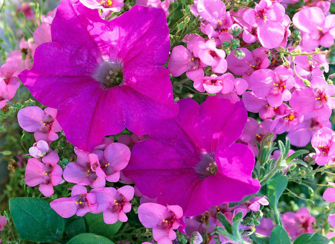 Diascia barbarae 'Flying Color's Antique Rose'