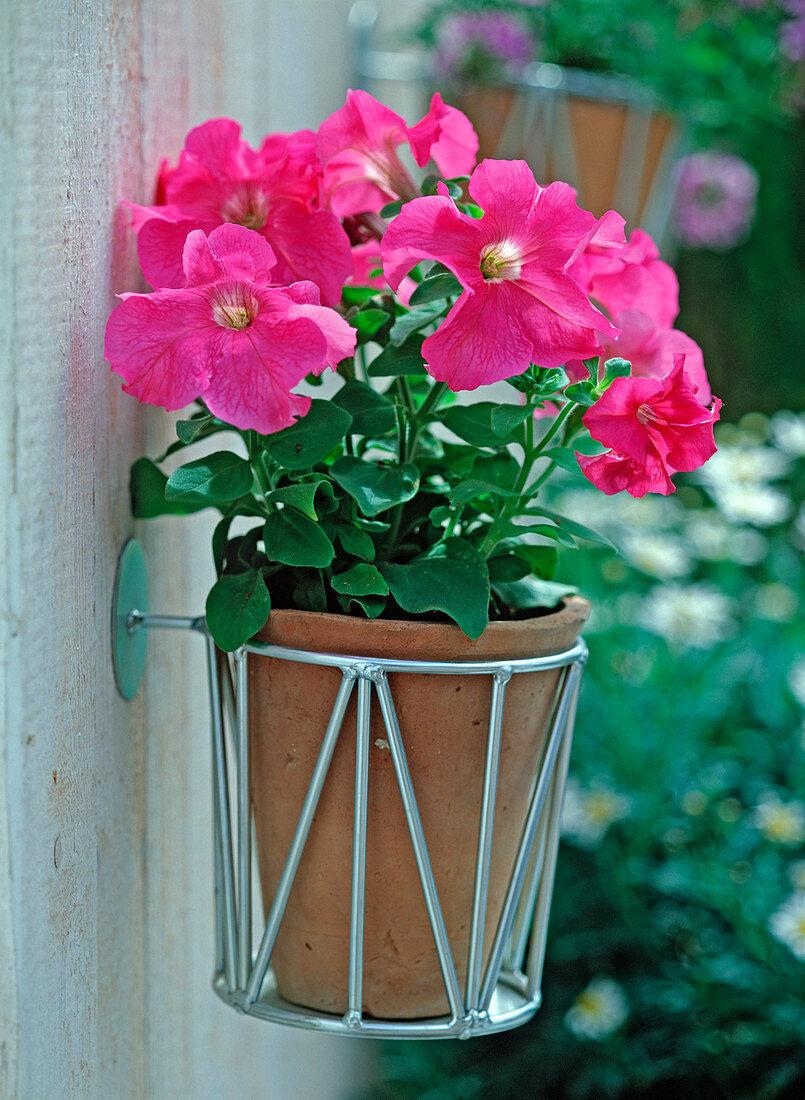 Petunia grandiflora 'Dreams pink' (petunia) in a single pot