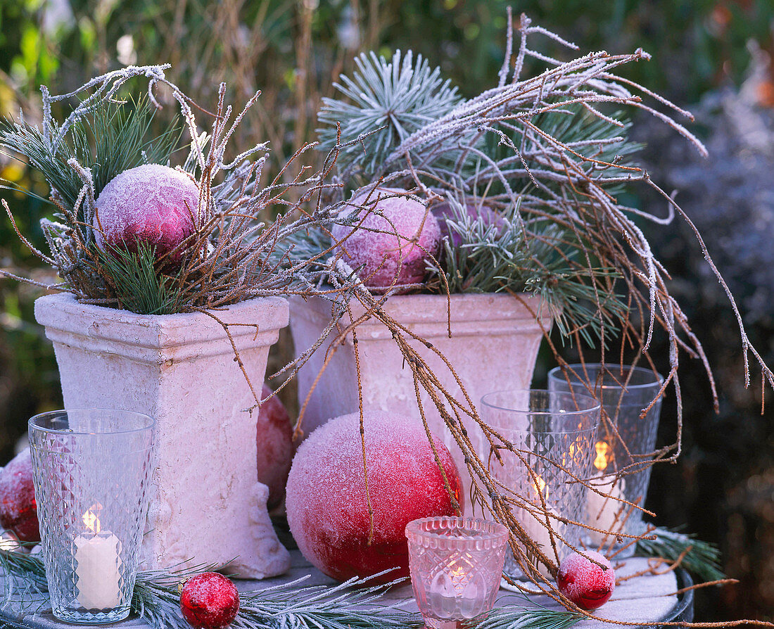 Square pots with pinus (pine)