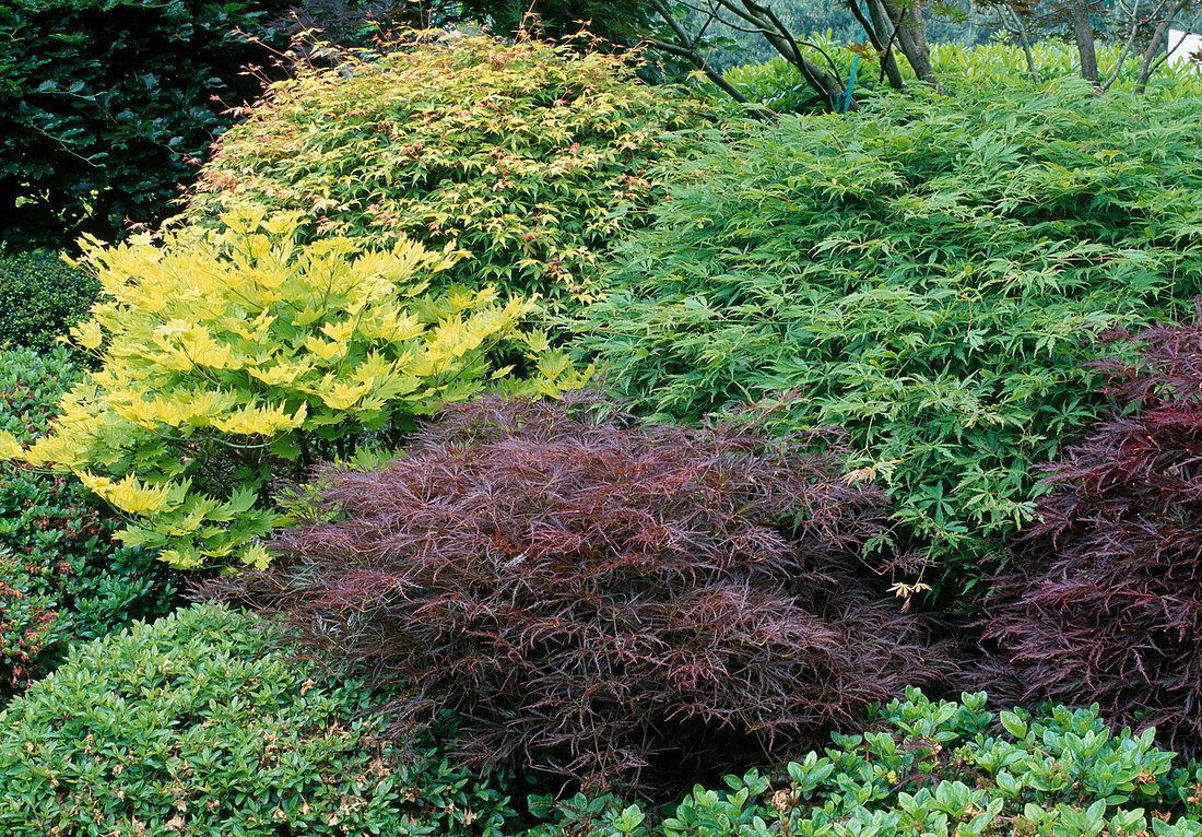 Acer palmatum 'Katsura', Acer shirawasanum 'Aureum', Acer palmatum 'Omurayama' (Japanische Ahorn - Sorten)