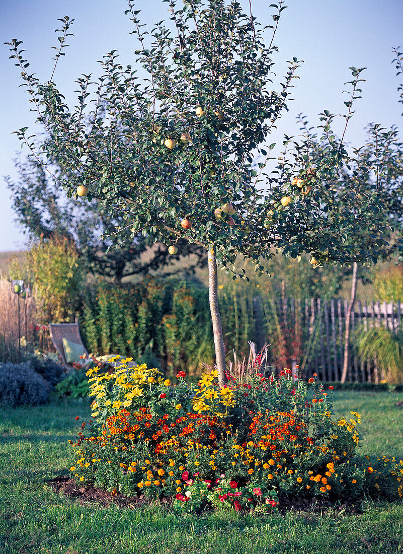 Malus 'Wiltshire' (apple), high stem with planting