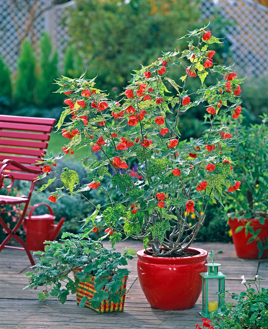 Abutilon pictum ' Thompsonii ' (Schönmalve), Pelargonium tomentosum