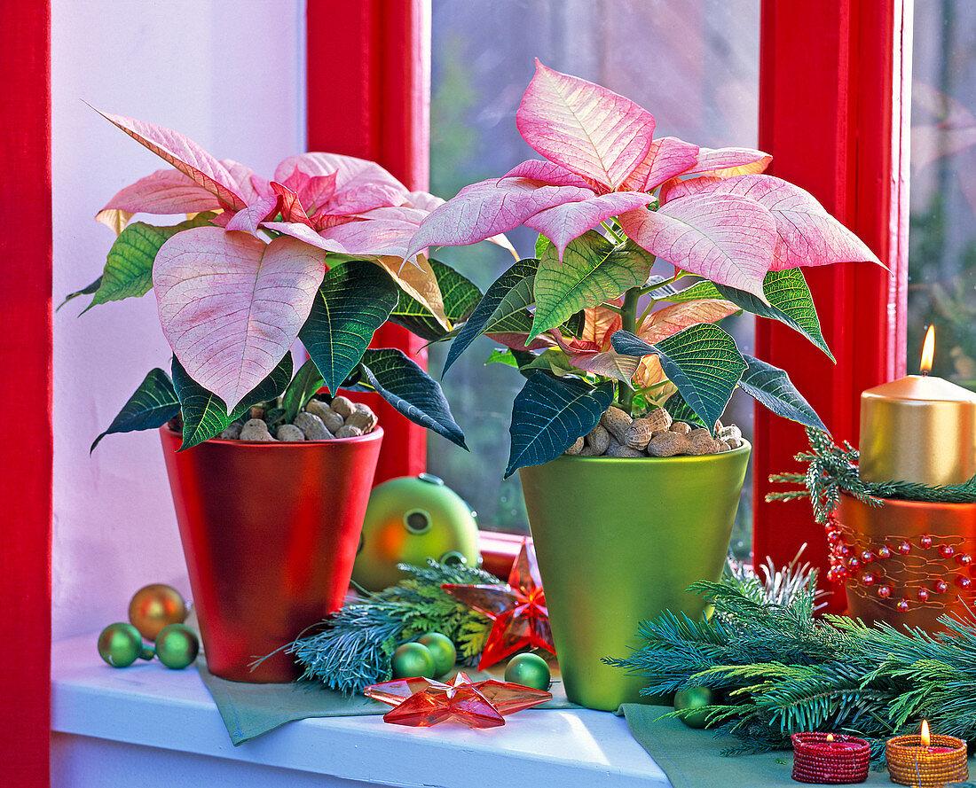 Euphorbia pulcherrima 'Monet' in metal pots