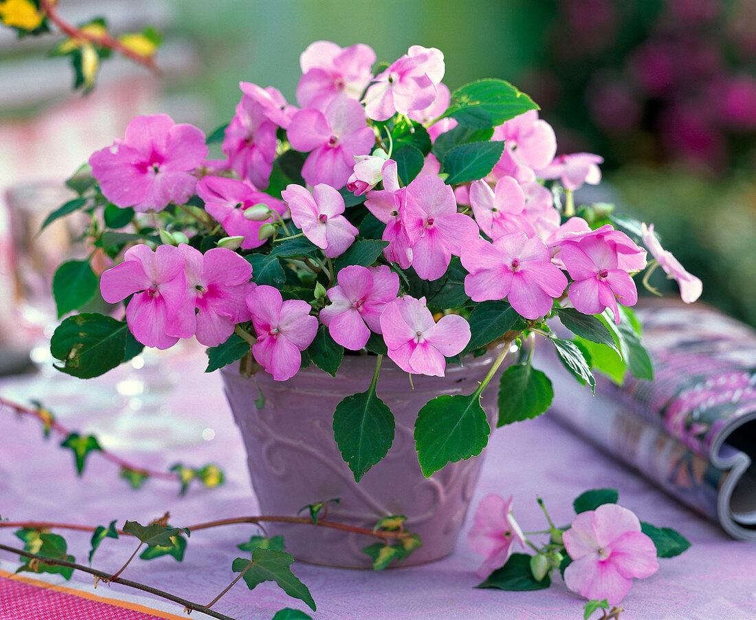 Impatiens walleriana Desire 'Pink' (busy lizzie)