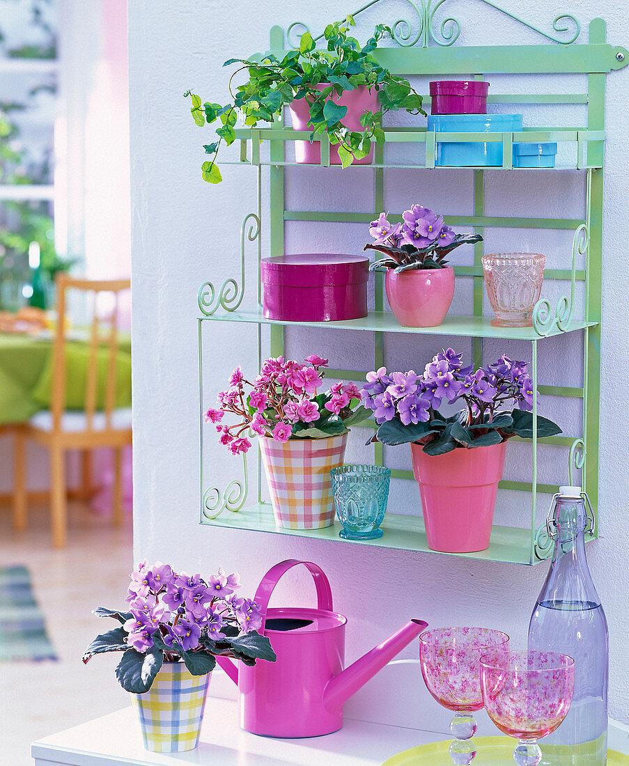 Shelf with Saintpaulia Ionantha (African Violet)